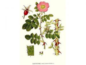 immagine della rosa mosqueta