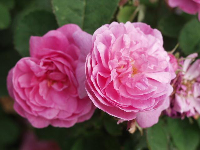olio essenziale di rosa damascena rosa in cosmesi